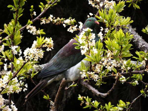 Friendly kereru regularly visit the orchard