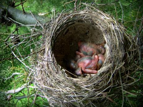 Baby thrush