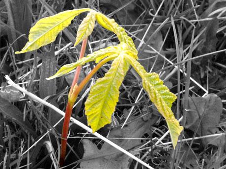 Horse Chestnut Seedlings