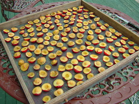 Drying Plums