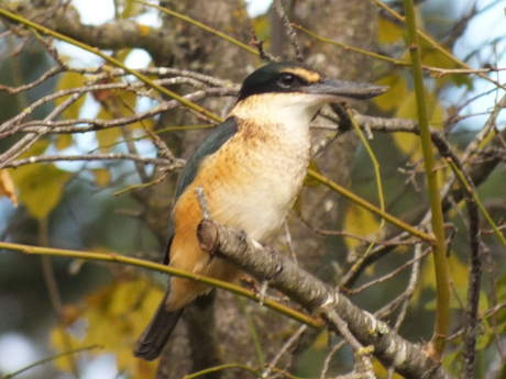 Kingfisher sits in the old plum tree
