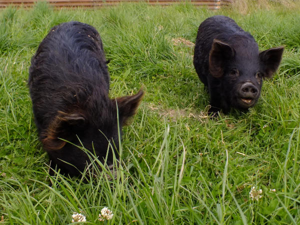 Rota and Mowa the kunekune pigs