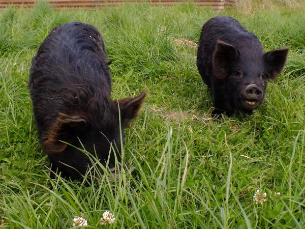 Rota and Mowa the kunekune pigs