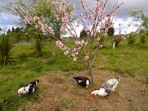 Muskovys under almond