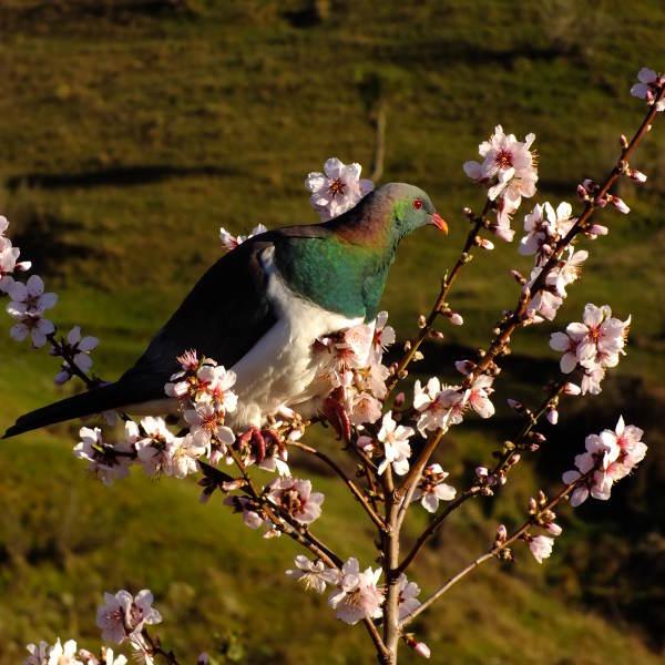 Native pigeon - kereru