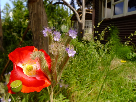 Poppies and phacelia