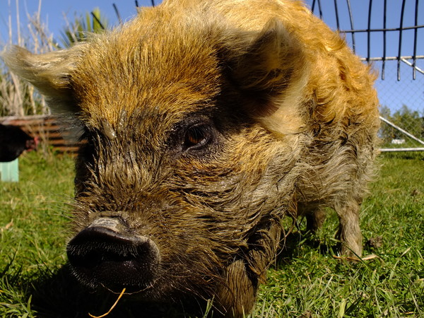 Grubba the ginger pig