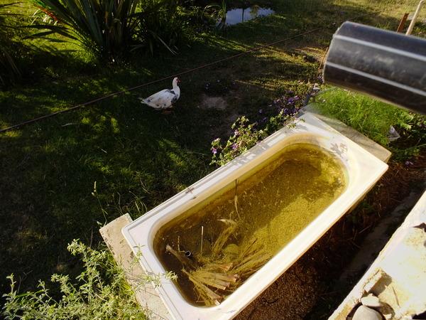 Fertigate with ducks
