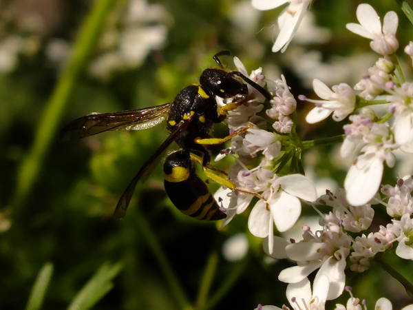 European potter wasp