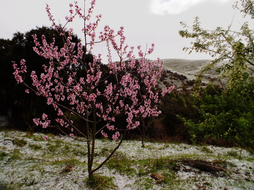 Almond blossom with snow