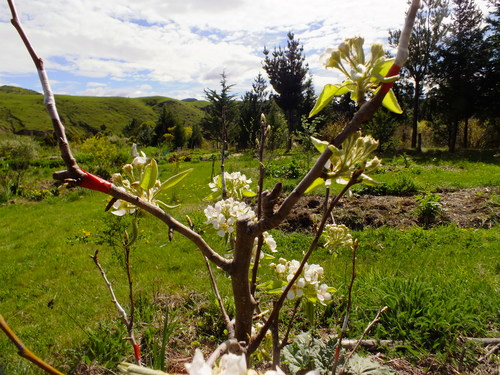 Grafting fruit and nut trees