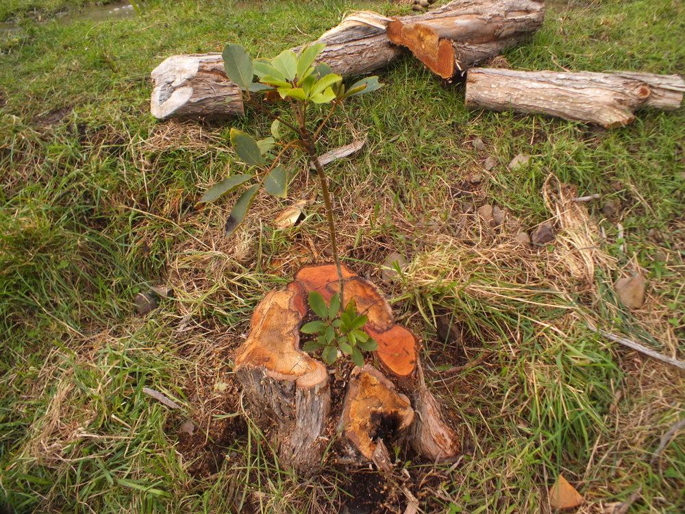 Sustainable firewood