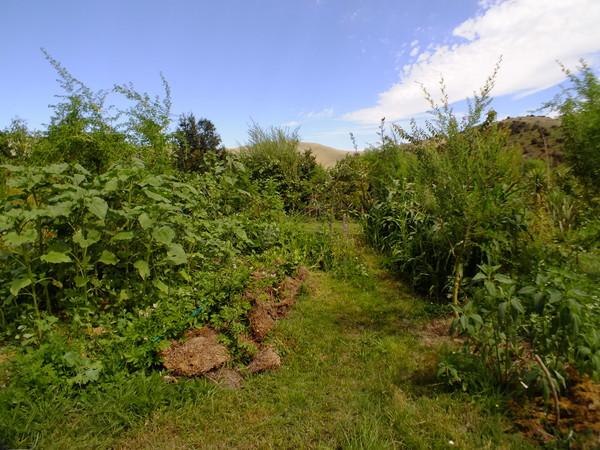 Hugelkultur gardens in summer