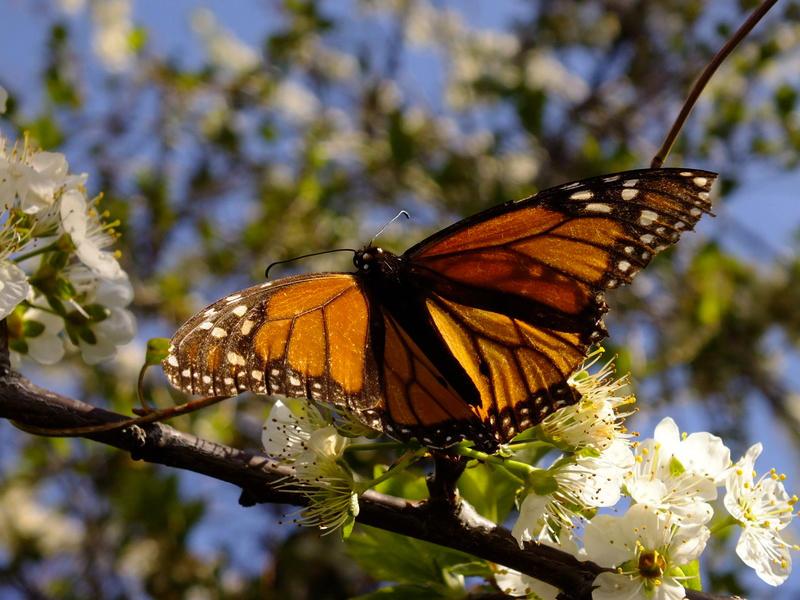 Monarch butterflies enjoying blossoms in the forest garden