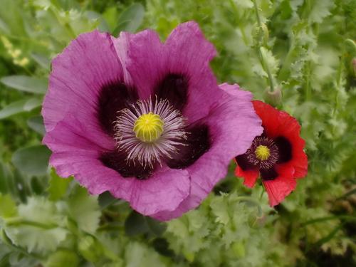 Mixed Poppy