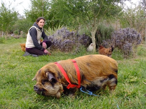 Pig on a leash