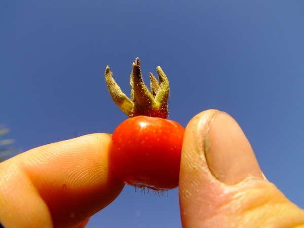 Rosa Rugosa Seeds