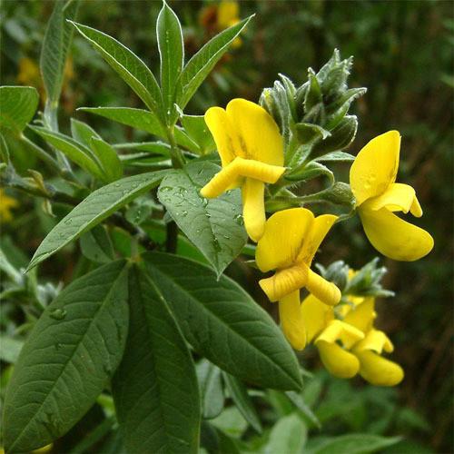 Piptanthus nepalensis seeds