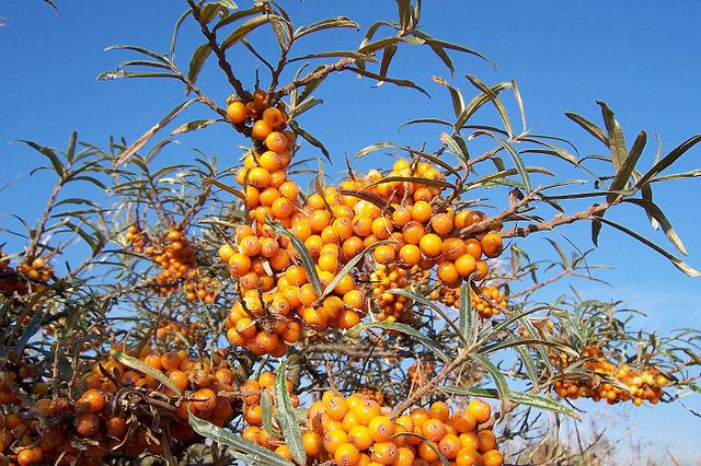 Sea Buckthorn / Sea Berry seeds