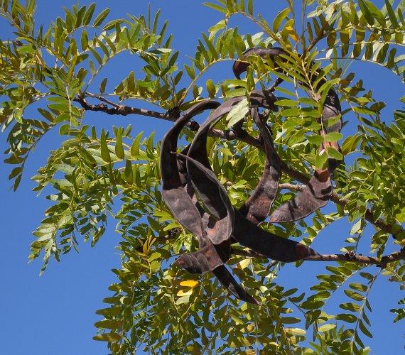 Thornless Honey Locust Seed