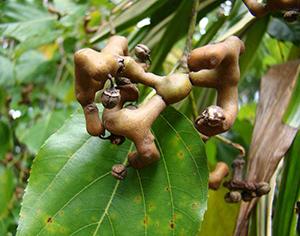 Japanese Raisin Tree seeds