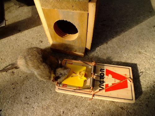 A plague of rats
