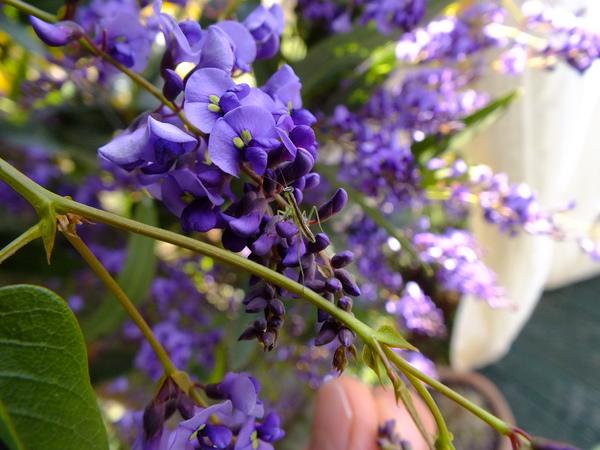 Hardenbergia vine seeds