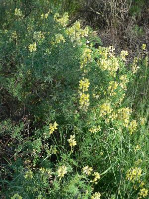 Yellow bush / tree lupine