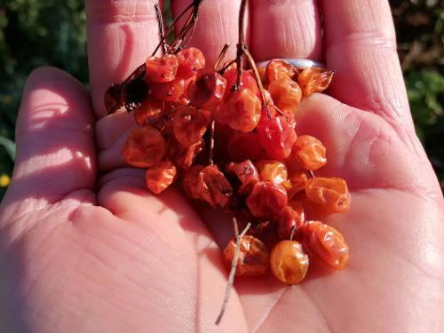 Viburnum trilobum seeds