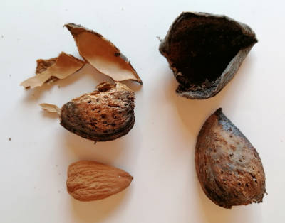 Almond - Paper shell