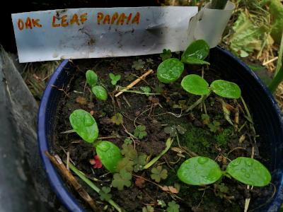 Oak Leaved Papaya