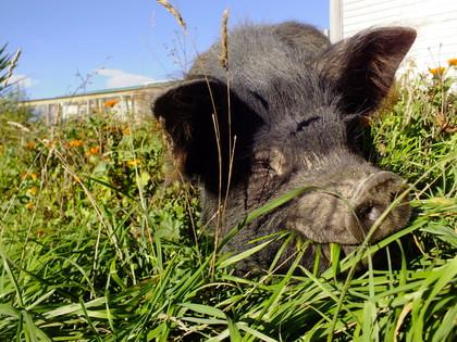 Grass fed kunekune pigs