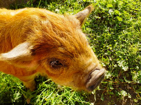 Grubba, the ginger pig
