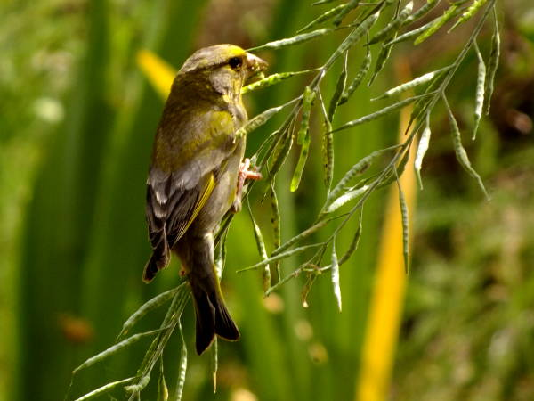 Greenfinch eating brassica seed